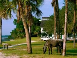 Cumberland Island's Wild Horses